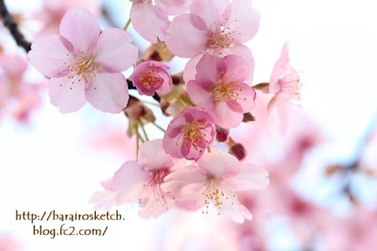 河津桜201702-16