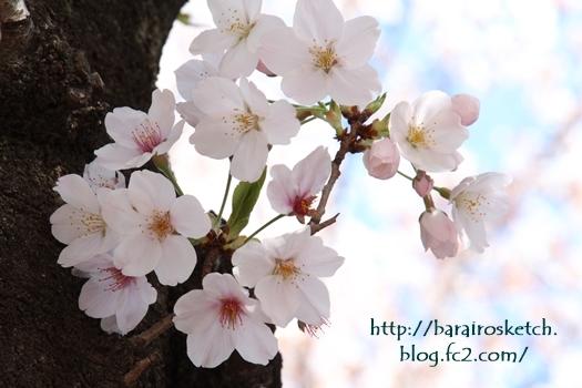 桜201704-21