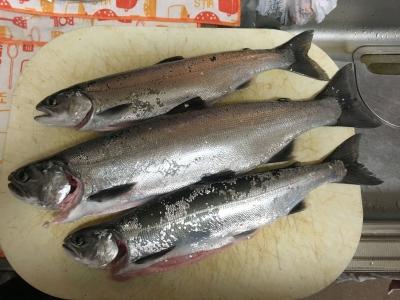 琵琶湖北湖で釣れたてのビワマスをいただきました