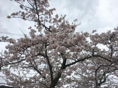 満開目前になったびわ湖大橋米プラザのサクラ(4月9日12時頃)