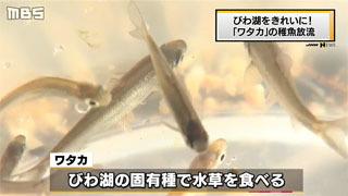 琵琶湖をきれいに!「ワタカ}の稚魚放流(MBS NEWS)