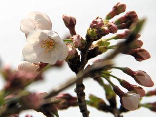 彦根のサクラ標準木が開花