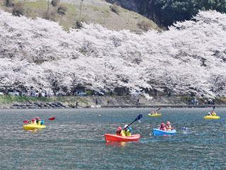 サクラ満開宣言が発表された4月13日の海津大崎