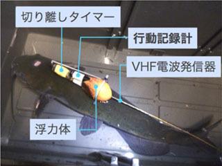 行動記録装置を装着したチャネルキャットフィッシュ