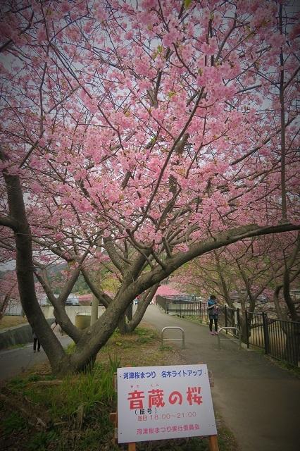 2017河津桜 桜のトンネル(4)