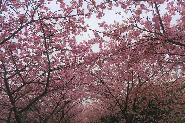 2017河津桜 桜のトンネル(5)