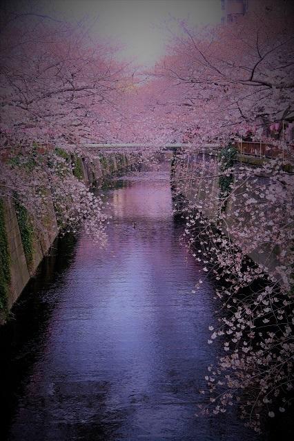 2017年 目黒川の桜(4)