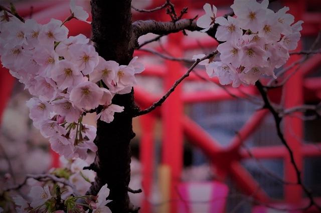 2017年 目黒川の桜(8)