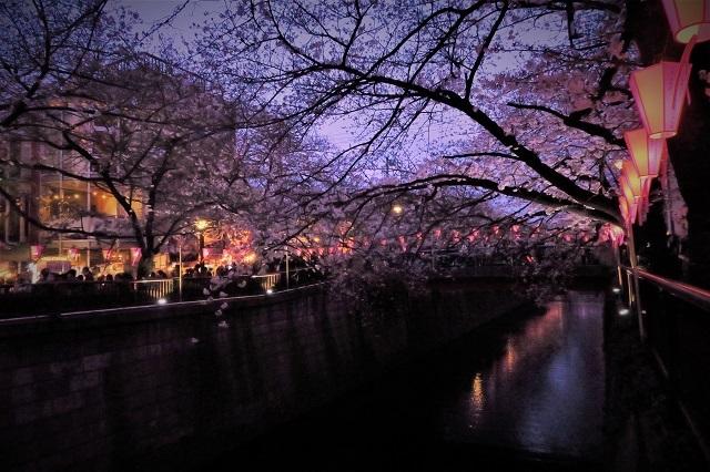 2017年 目黒川の桜(9)