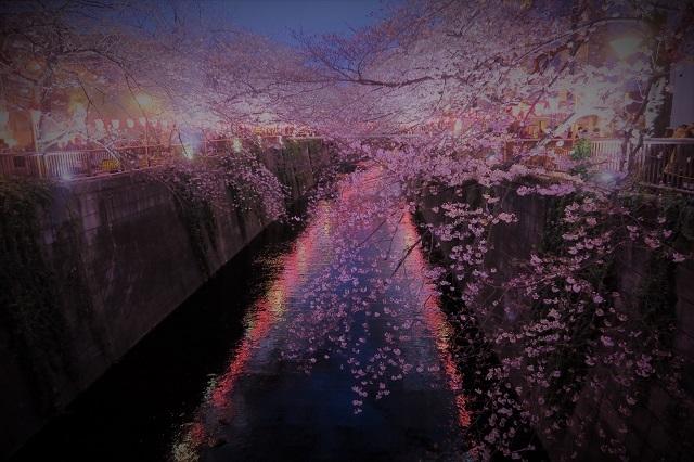 2017年 目黒川の桜(11)
