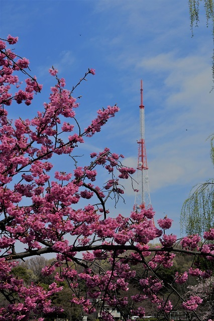 2017三ッ池公園の桜(2)