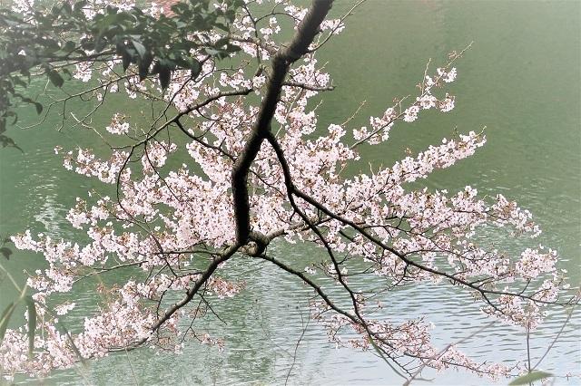 2017三ッ池公園の桜(3)