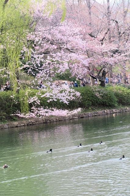 2017三ッ池公園の桜(4)