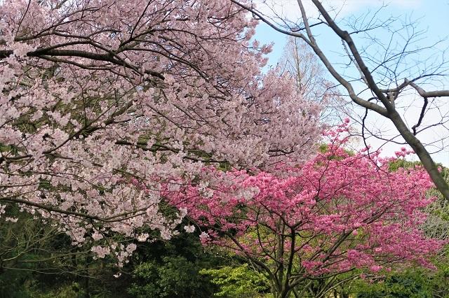 2017三ッ池公園の桜(5)