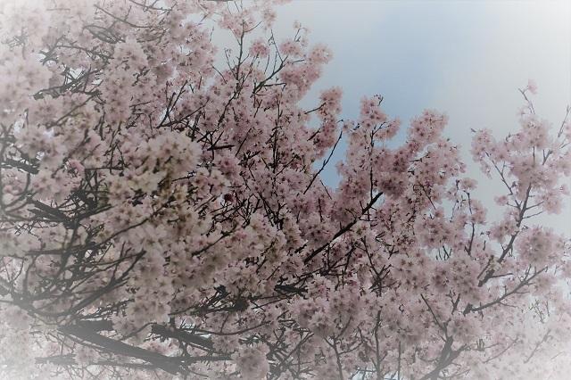 2017三ッ池公園の桜(6)