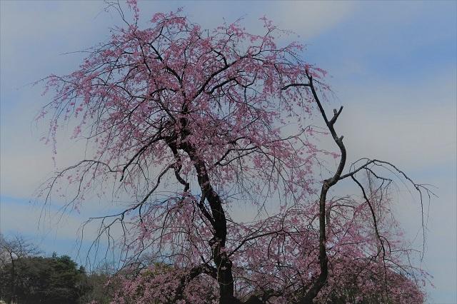 2017三ッ池公園の桜(7)