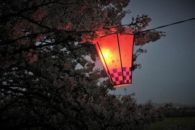 2017権現堂堤さくら祭り 夕暮れの桜(3)