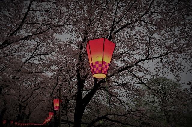 2017権現堂堤さくら祭り 夕暮れの桜(7)