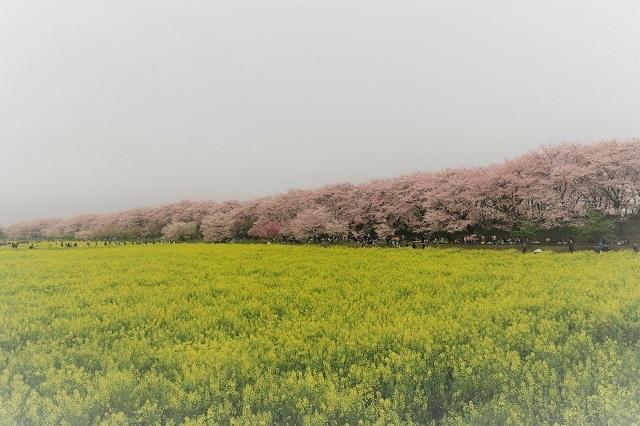 2017年 幸手 権現堂堤の桜(1)