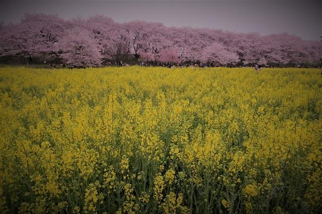 2017年 幸手 権現堂堤の桜(2)