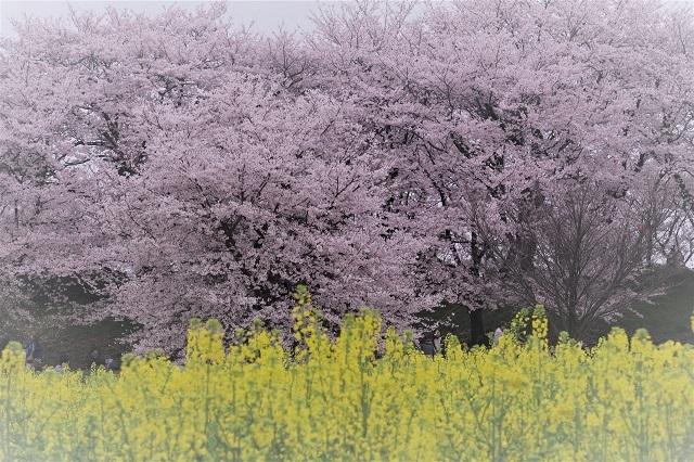2017年 幸手 権現堂堤の桜(3)