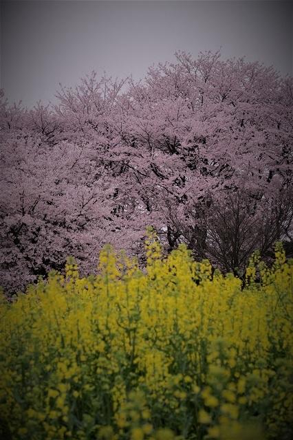 2017年 幸手 権現堂堤の桜(4)