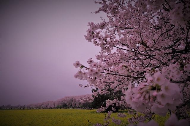 2017年 幸手 権現堂堤の桜(5)
