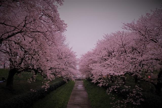 2017年 幸手 権現堂堤の桜(11)