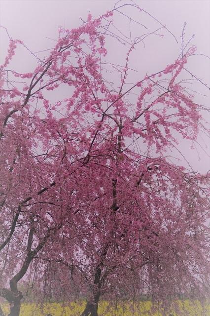 2017年 幸手 権現堂堤の桜(12)