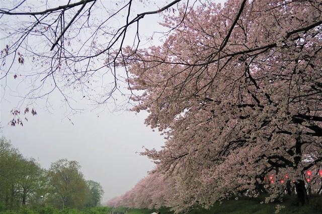 2017年 幸手 権現堂堤の桜(14)
