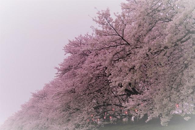2017年 幸手 権現堂堤の桜(15)