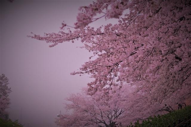 2017年 幸手 権現堂堤の桜(16)