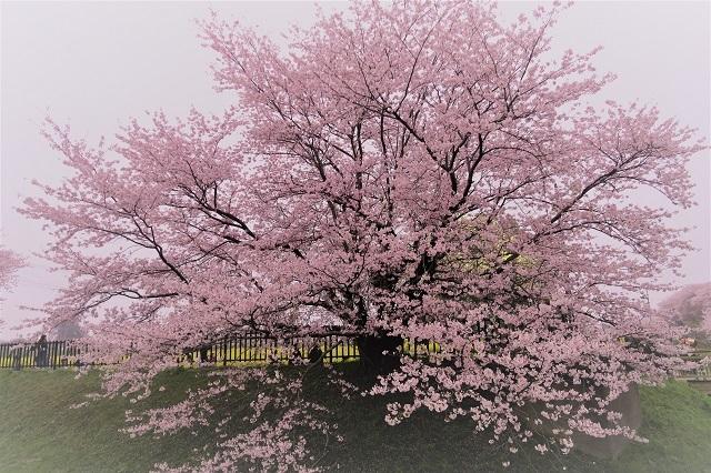2017年 幸手 権現堂堤の桜(17)
