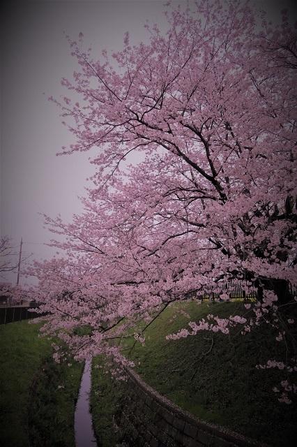 2017年 幸手 権現堂堤の桜(18)
