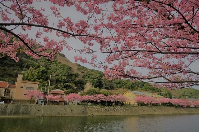 2017年 河津町さくら祭り 河津川川畔の桜(2)