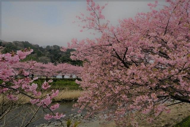 2017年 河津町さくら祭り 河津川川畔の桜(3)