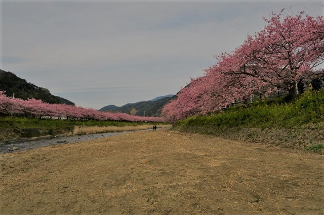 2017年 河津町さくら祭り 河津川川畔の桜(4)