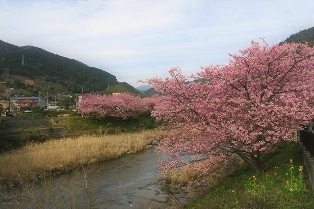 2017年 河津町さくら祭り 河津川川畔の桜(7)