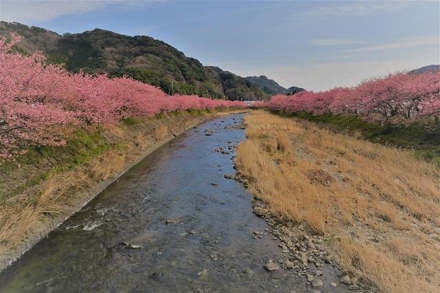 2017年 河津町さくら祭り 河津川川畔の桜(8)