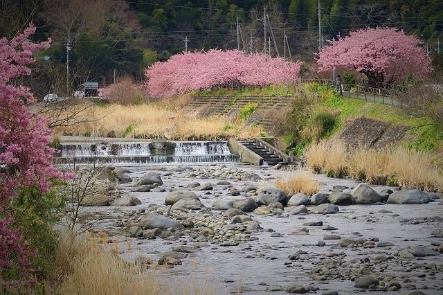 2017年 河津町さくら祭り 河津川川畔の桜(9)