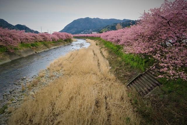 2017年 河津町さくら祭り 河津川川畔の桜(10)