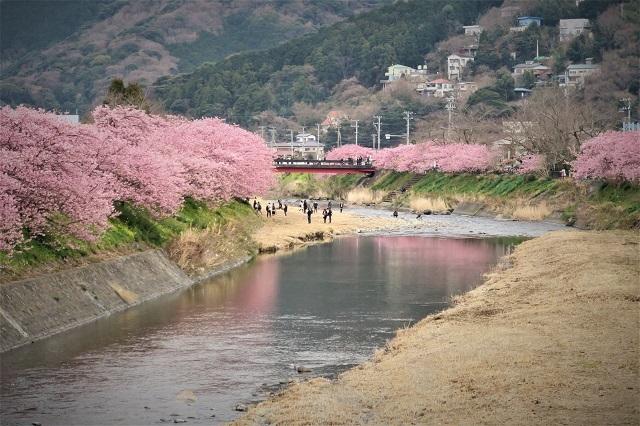 2017年 河津町さくら祭り 河津川川畔の桜(12)