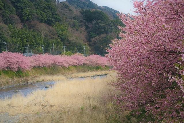 2017年 河津町さくら祭り 河津川川畔の桜(14)