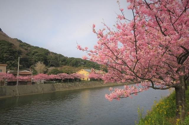 2017年 河津町さくら祭り 河津川川畔の桜(15)