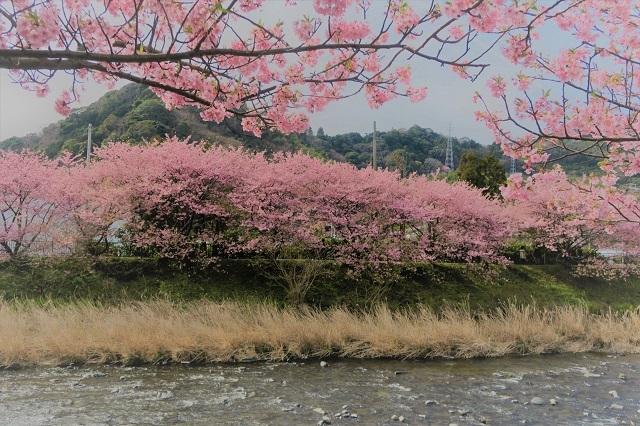 2017年 河津町さくら祭り 河津川川畔の桜(16)