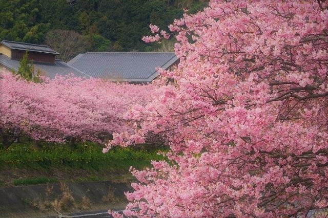2017年 河津町さくら祭り 河津川川畔の桜(20)