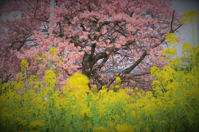 2017河津 河津桜と菜の花(2)