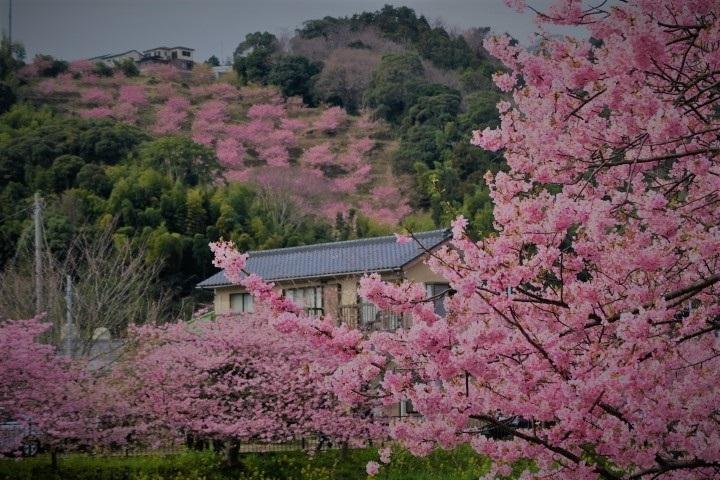 2017河津 河津桜のアップ写真(7)