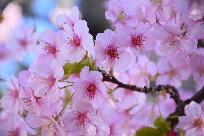 054-河津桜