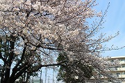 s-桜ひき2